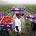 Florida's Strawberry Industry
